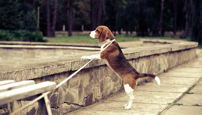 Моя собака бигль Жуля на прогулке